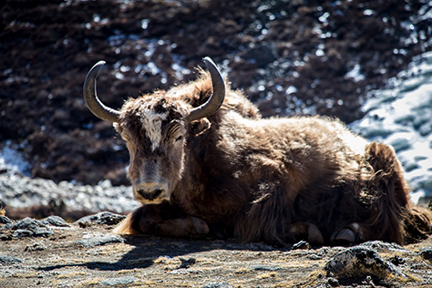 Yak on the Everest Base Camp Trek